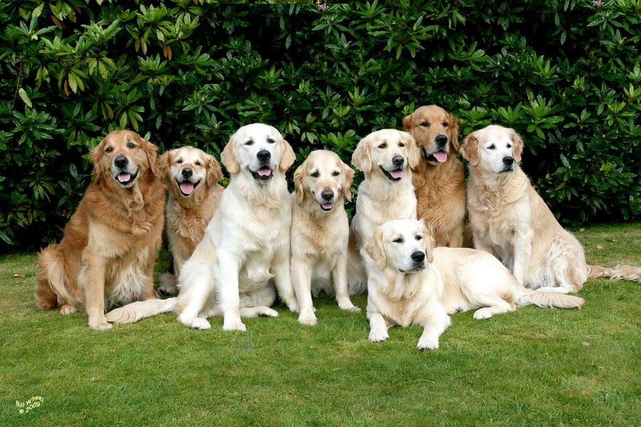 Riverdance Golden Retrievers in 2009